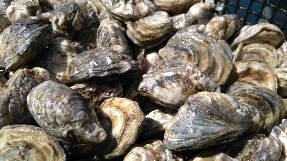 Kushi Oysters Stellar Bay